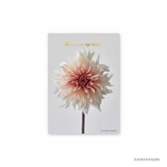 日比谷花壇 ポストカード ダリア3 N7723